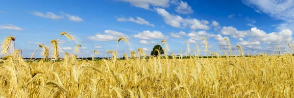 nature-landscape-field-sky-wheat
